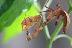 The Praying Philippine Mantis royalty free stock images