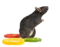 Praying rat Royalty Free Stock Photo
