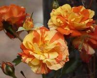 Praying Roses Stock Photos