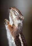 Praying Squirrel. Ground squirrel holding paws together in prayer