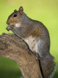 Praying squirrel Stock Images