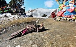 A praying woman. A praying tibetan woman at Snow Mountain Stock Image