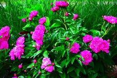 Prazer cor-de-rosa Imagem de Stock