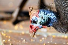 Prazer do pássaro em encontrar o milho dourado Foto de Stock Royalty Free