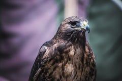 prédateur, exposition des oiseaux de la proie dans une foire médiévale, détail Images stock