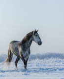 PRE Andalusian gray horse walks on freedom Stock Photo
