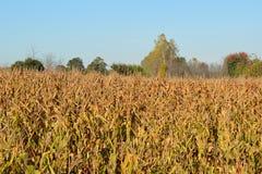 Pre-colheita da colheita da queda Imagem de Stock Royalty Free