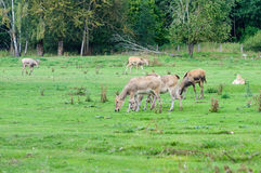 Pуre David's deer (Elaphurus davidianus) Stock Images