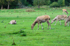 Pуre David's deer (Elaphurus davidianus) Royalty Free Stock Image