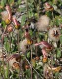 Pre fiori del Dryas della fioritura Immagine Stock Libera da Diritti