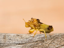 Pre-historic looking Jagged Ambush Bug Stock Photography