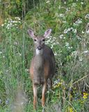 Pre hunt whitetail Royalty Free Stock Photo