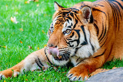 Pre-pounce Tiger. Close up of a female Sumatran tiger, licking her lips about to pounce on her prey Stock Photos