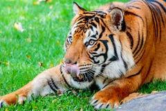 Pre-pounce Tiger Stock Photos