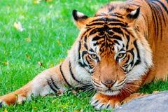 Pre-pounce Tiger Stock Image