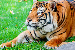Pre-pounce Tiger Stock Images
