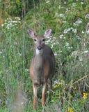 Pre whitetail di caccia Fotografia Stock Libera da Diritti