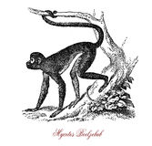 Preacher monkey or Mycetes Beelzebub, vintage engraving. Preacher monkey or Mycetes Beelzebub is native of Africa, chats and howls in imitation of pulpits with a Stock Image