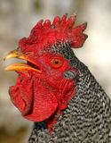 Preachin' To The Choir. Barred Rock Rooster Stock Images