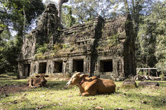 Preah Khan Building With Cow Stock Photography
