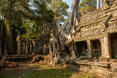 Preah Khan doubre tree. Roots holding wall Royalty Free Stock Photo
