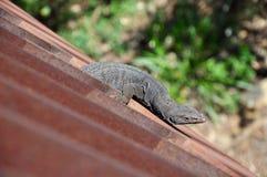 Precarious Lizard Stock Photography