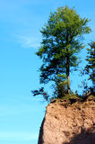 Precarious Situation. A tree grows precariously close to the edge of a cliff.  There is blue sky in the background Royalty Free Stock Photos