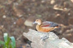 Precioso poco Silbar-Pato Foto de archivo