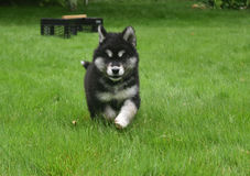 Precious Alusky Puppy Dog Running in a Yard Stock Images