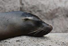 Precious Close Up of a Shiny Sea Lion Head. Precious Shot of a Shiny Sea Lion Head Royalty Free Stock Images