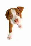 Precious The Dog. The familey dog Precious in front of a white back drop Royalty Free Stock Photo