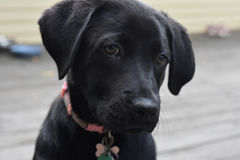 Precious Face of a Black Lab Puppy Dog Royalty Free Stock Photos