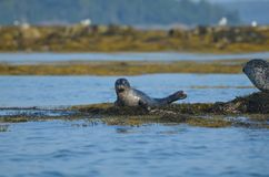 Precious Harbor Seal Pup on a Pile of Seaweed. Adorable harbor seal pup with a very sweet face in Maine Stock Photography