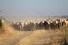 The precious image of a flock of sheep walking to reach the destination royalty free stock image