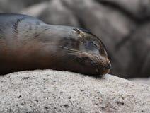 Precious Image of a Sea Lion Sleeping. Precious Close Up of a Sea Lion Sleeping Stock Photos