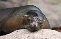 Free Precious Sea Lion Taking A Nap On A Rock Stock Image - 103484831