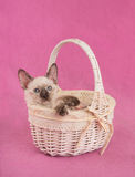 Precious tortie point Siamese kitten in an off white basket Royalty Free Stock Image