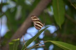 Precious Zebra Butterfly with Pretty Red Markings. Precious Zebra Butterfly with Beautiful Red Markings Stock Images