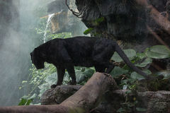 The Precipice. Arguably one of the most elusive of all the big cats, this beautiful black panther stands on a rocky ledge long enough for me to photograph- the royalty free stock photos