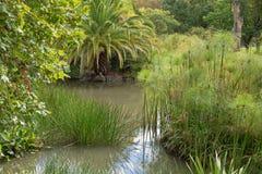 Precipitação de ponto, papiro do Cyperus, pickerelweed, e o outro pla aquático imagem de stock royalty free