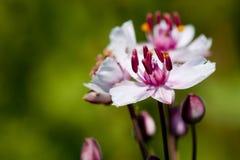 Precipitación floreciente Fotografía de archivo libre de regalías