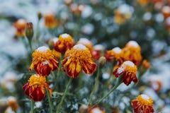 Precipitazione sotto forma di nevischio I primi fiori luminosi innevati di autunno Si sono congelati ed appassito dal freddo immagine stock