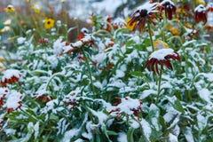 Precipitazione sotto forma di nevischio I primi fiori luminosi innevati di autunno Si sono congelati ed appassito dal freddo fotografia stock libera da diritti
