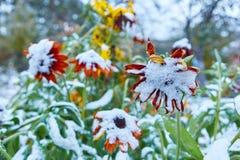 Precipitazione sotto forma di nevischio I primi fiori luminosi innevati di autunno Si sono congelati ed appassito dal freddo immagine stock libera da diritti