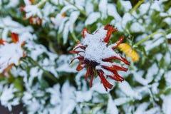 Precipitazione sotto forma di nevischio I primi fiori luminosi innevati di autunno Si sono congelati ed appassito dal freddo fotografie stock libere da diritti