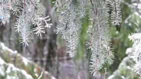 Precipitazioni nevose nei rami dell'abete della foresta coperti di ondeggiamento della neve nel vento archivi video