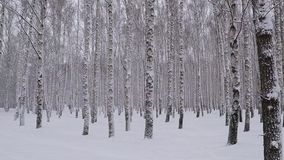 Precipitazioni nevose nel boschetto della betulla di inverno stock footage