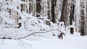 Precipitazioni nevose nell'inverno nella foresta, parco, mattina di natale nevosa morbida con neve di caduta, ramo coperto di nev stock footage