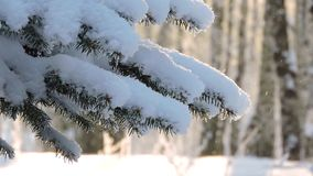 Precipitazioni nevose nella foresta, ondeggiamenti del ramo dell'abete nel vento archivi video