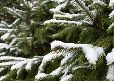 Precipitazioni nevose sulla pianta mai verde nell'inverno immagini stock libere da diritti